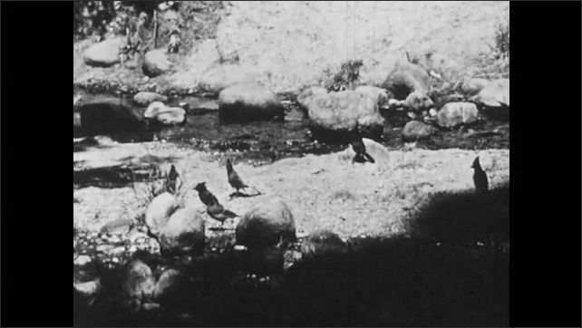 1950s: Blue Jay looks for food along stream.  Birds hop around.  Birds fly.