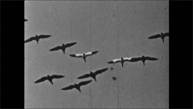 1950s: Bat hangs upside down.  Wings.  Birds fly in large group.