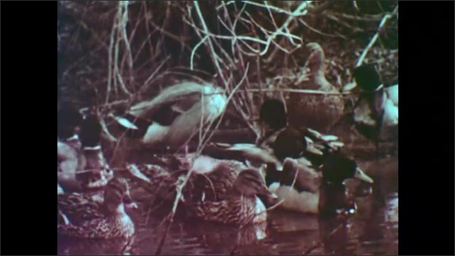 1950s: Flock of birds fly through the air. Group of ducks sit in pond, paddle away.