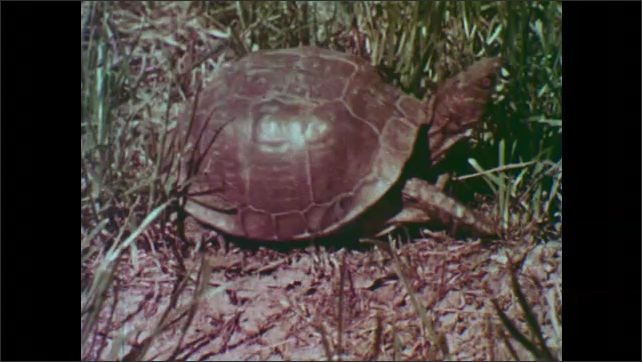 1950s: Box turtle walks through grass. Man digs hole in dirt with small spade.