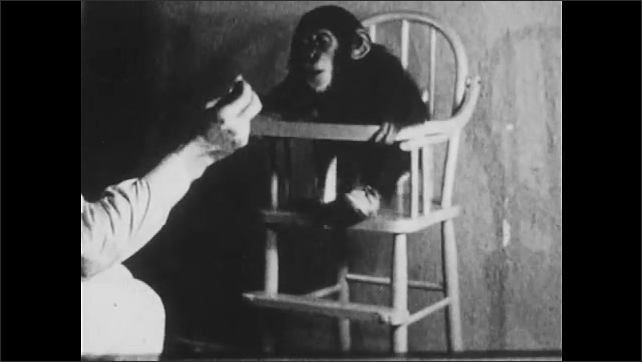 1930s: UNITED STATES: chimp sits in chair. Man positions chimp in chair. Chimp stands in chair. Man rewards behaviour
