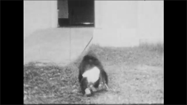 1930s: UNITED STATES: lady puts chimp on ground. Chimp searches for man
