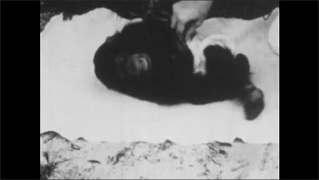 1930s: UNITED STATES: hand tickles chimp on mat. Chimp rolls around in laughter
