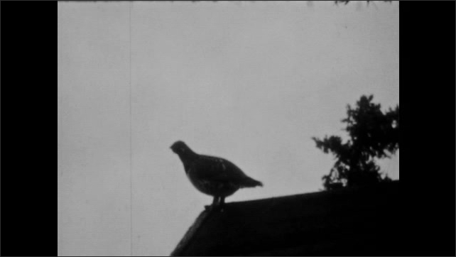1940s: dog kennels and cabins, bird on roof of cabin, bird on ground