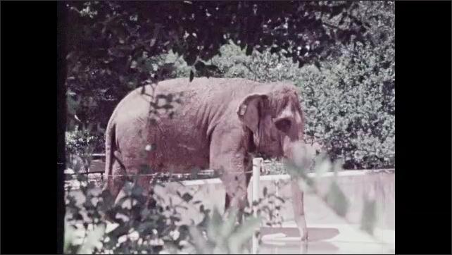 1970s: Elephant walks through habitat in zoo.