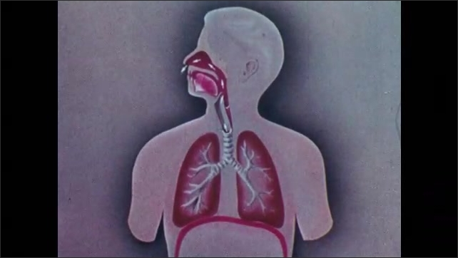 1960s: UNITED STATES: animation of human chest cavity during inhalation and exhalation. Creation of vacuum within lungs. Diaphragm and rib cage movement in breathing