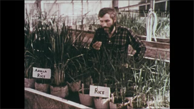 1970s: Ray Valentine picks up an Azolla, a small fern, from the rice pot and holds it. Close up of Azolla on thumbnail.