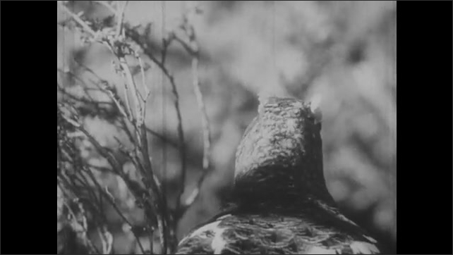 1950s: Baby birds in nest. Male and female grouse on forest floor.