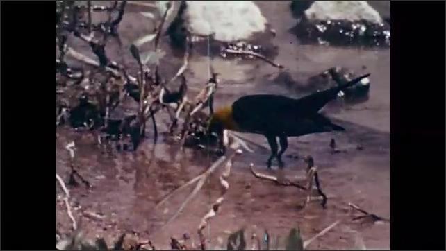 1960s: Man holds gun and dead bird. Dog runs through field. Bird pecks at ground. Bear.