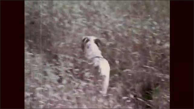 1960s: Men hold guns, stand in field. Dogs run through field. Bird flies up from ground. Men fire at bird. Dog runs through field. Man picks up shell casings.