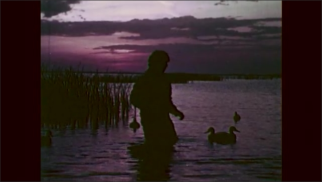 1960s: Man wades through water, places decoy ducks into water.