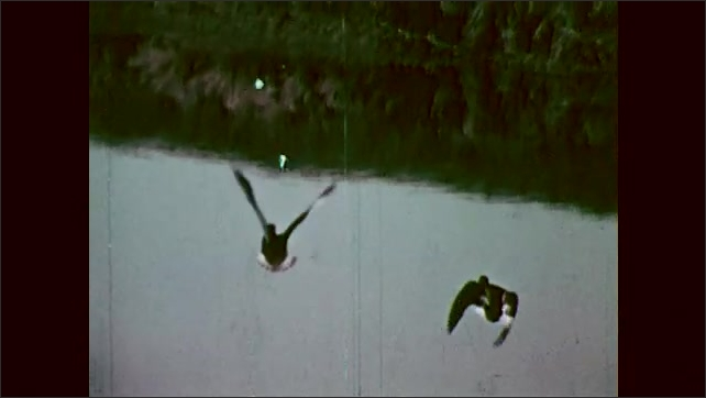1960s: Ducks fly over water.
