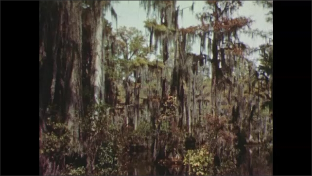1950s: man in boat uses fishing rod, pulls up walleye on line with net and holds hook. Spanish moss hangs on trees in swampy water. gar fish swims in water.