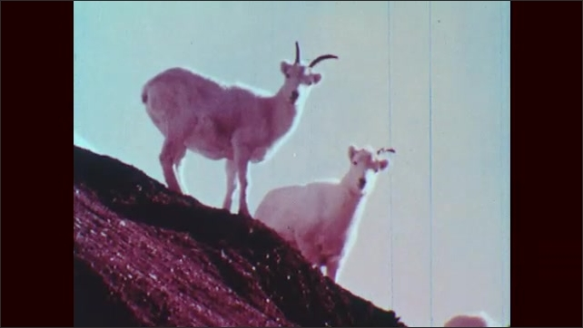 1950s: Horned sheep walks down slope. Sheep walking along rocks. Two sheep on cliff slope. Head of horned sheep turns. Horned sheep in grasses.