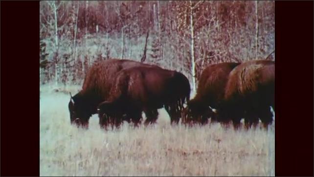 1950s: Reindeer trot in slow motion. Herd of buffalo in field. Buffaloes graze.
