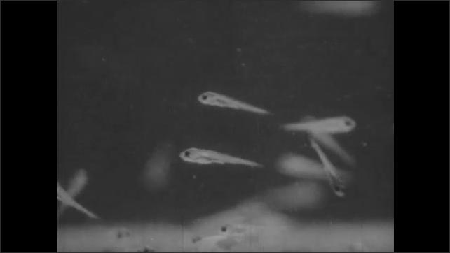 1950s: Larger fish swims amongst tiny, baby fish. Many fish swim amongst plants.
