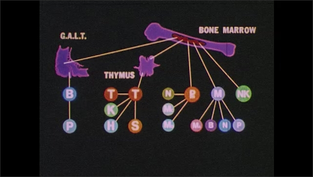 1980s:  UNITED STATES: immune system in human body. Immune cells chart. Micro cinematography of blood in veins.