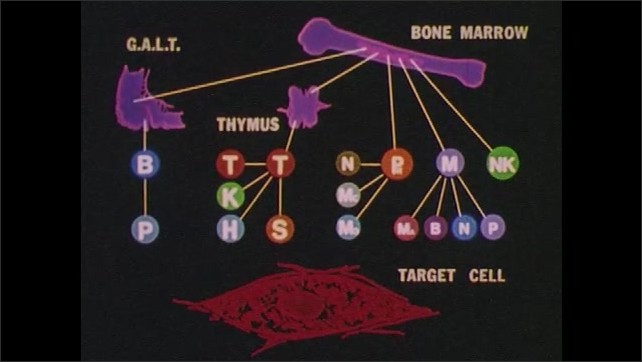 1980s:  UNITED STATES: animation of immune system in human body. Antigens invade body