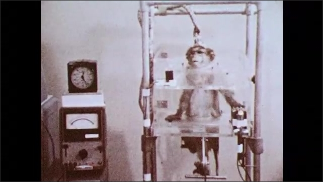 1980s: Man adjusts monkey strapped into monitoring equipment. Monkey looks around. Monkey hits lever in experiment. Man pulls back monkey's lip to show teeth.