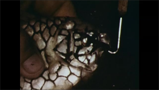 1970s: Luminous fish blinks in deep sea. Hand holds pinecone fish and tries to open its mouth with a hook.