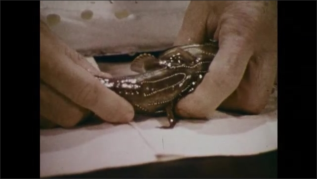1970s: Man holds a fish and puts it on a cloth. Hand holds fish, points to its body and presents the fish. A man talks.