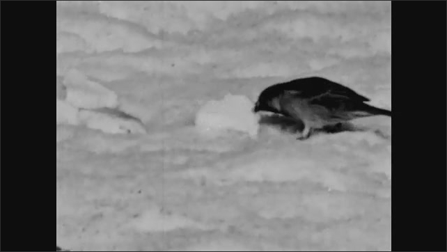 1940s: UNITED STATES: Ptarmigan Grouse in winter. English Sparrows eat bread in snow. Permanent residents in winter.