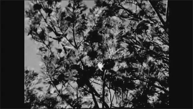 1940s: UNITED STATES: Chickadee bird in winter. Waxwings in winter.