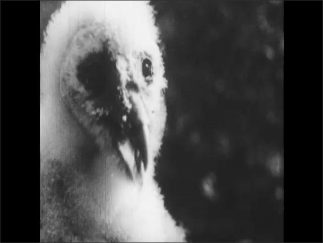 1950s: Baby barn owl clicks beak together.  Owl stands.