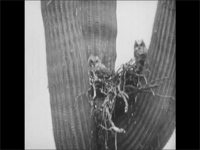 1950s: Great horned owl takes off from cactus.  Baby owls in nest.