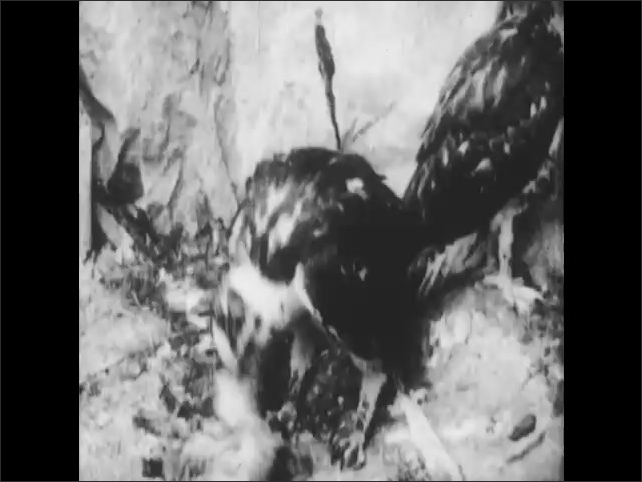"""1950s: Young hawk tears apart prey.  Text reads """"Red-tailed Hawk.""""  Mountain."""