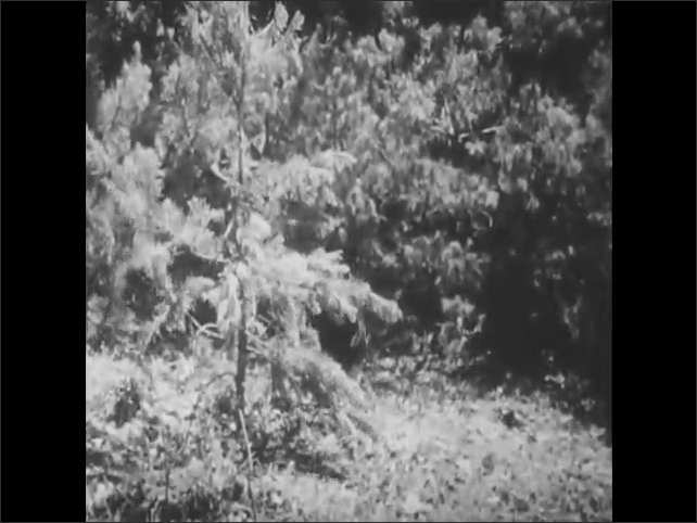 1950s: Two black bear cubs eat food from tree in forest. Boy and girl watch cubs from tent. Boy sneezes and cubs run away. Man, woman, boy and girl sit around table on side of lake, eating.