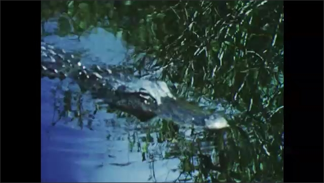 1950s: father and son in boat paddling through swamp, they see alligators swimming in water, boy gets up and puts baby alligator in water which quickly swims away