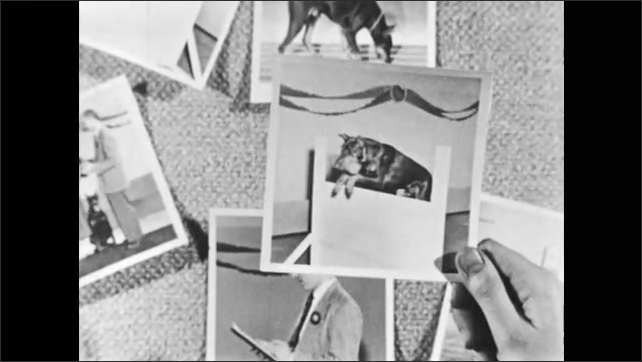 1950s: Photographs of dog and girl are laid on table. Hand picks up photo of dog, girl and man. Hand picks up photo of dog jumping obstacle. Hand picks up photo of man. Hand takes photos.