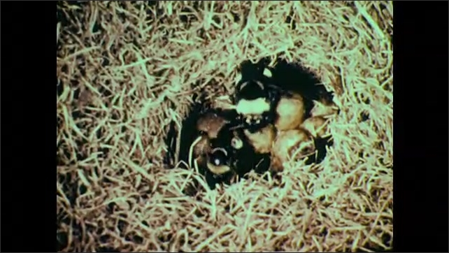 1950s: Bumblebee crawls around on flower. Group of bumblebees crawl around under grass.