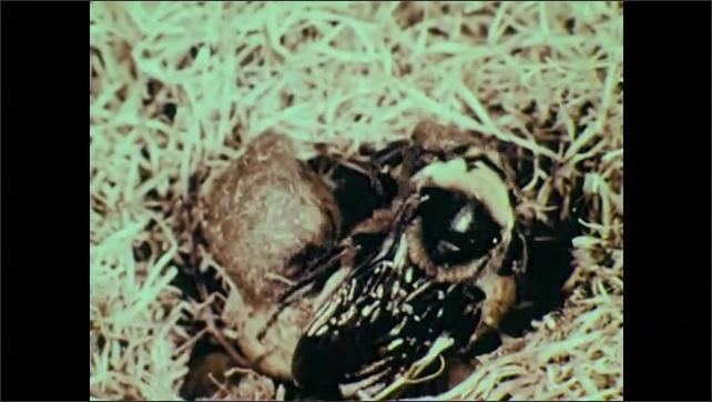 1950s: Queen bee crawls over eggs.