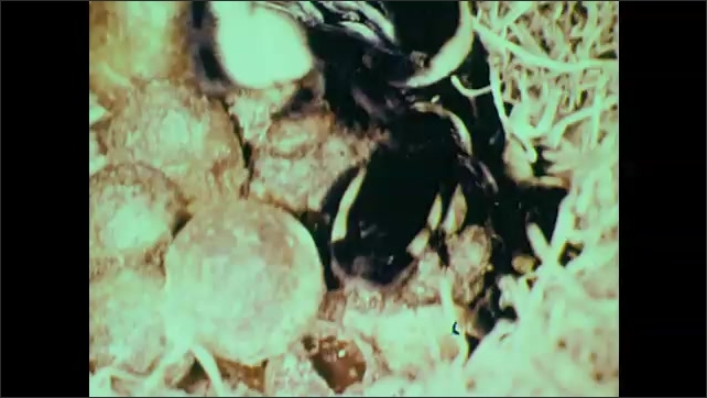 1950s: Bees on flowers. Bees crawl around on nest of eggs.