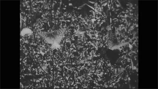 1950s: Butterfly on flower.  Garden.  Butterflies flap wings.  Eggs on leaf.