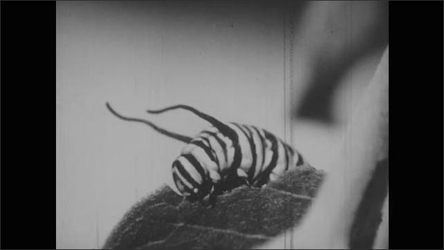 1950s: Caterpillar eats leaf.  Small caterpillar moves past large caterpillar.