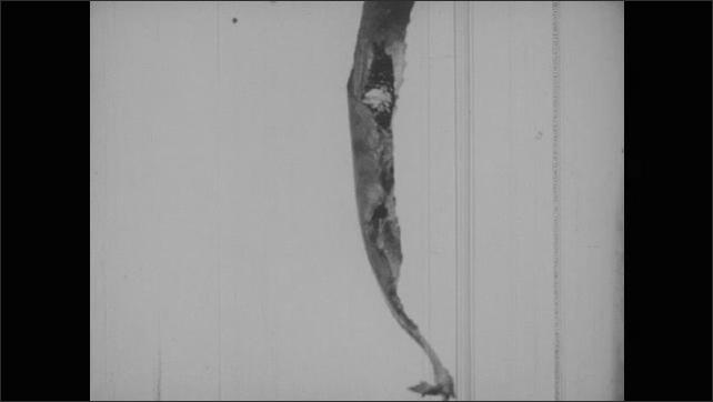 1950s: Caterpillar moves across twig.  Caterpillar creates leaf tube for hibernation.  Chrysalis.