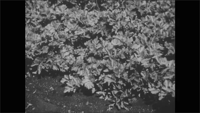 1950s: Butterfly flaps wings.  Vegetable plants.  Caterpillars on stems.