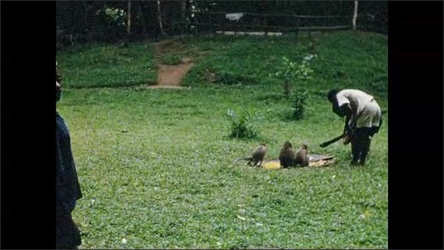 1960s: Pair of okapi. Men feed monkey's in field.