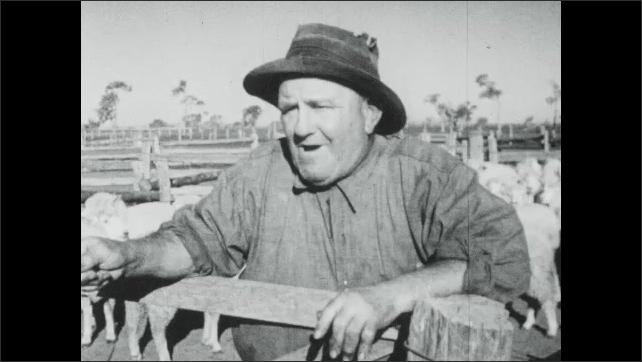 1940s Australia: Farm.  Men speak and whistle.  Dogs herd sheep in pens.