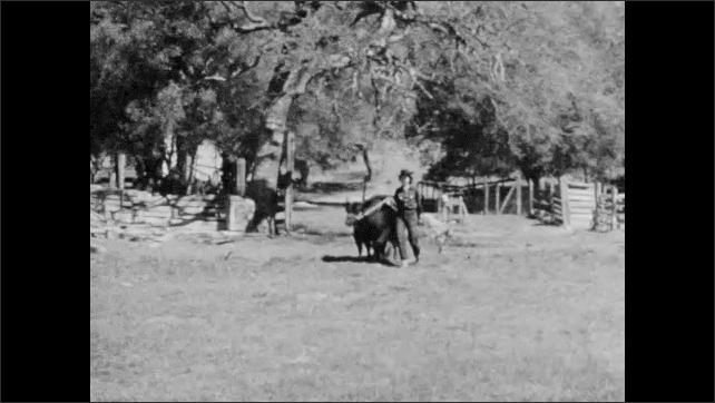 1950s: Girl loads straw into animal trailer. Girl leads cows across field.