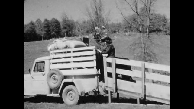 1950s: Girl loads cows onto truck.