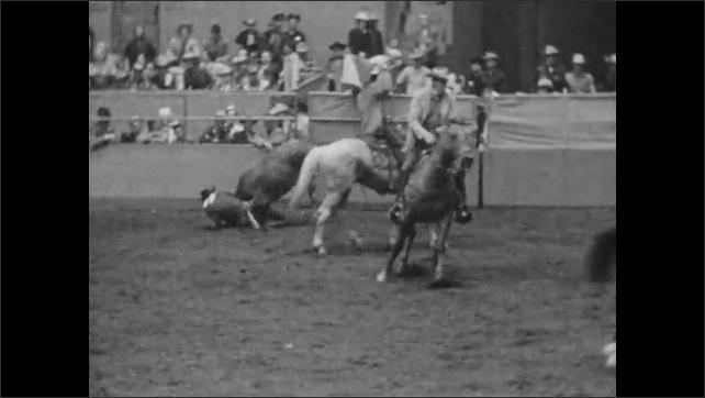 1950s: Men on horseback chase bull, man jumps off horse and tackles bull.