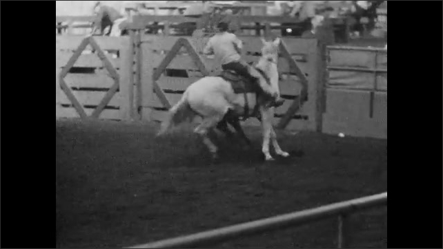 1950s: Man on horseback chases cow around arena.