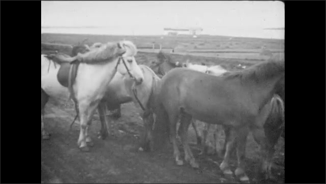 Man ties bridle of pony to the tail of another pony. Man ties ponies together in circle as trucks drive by.