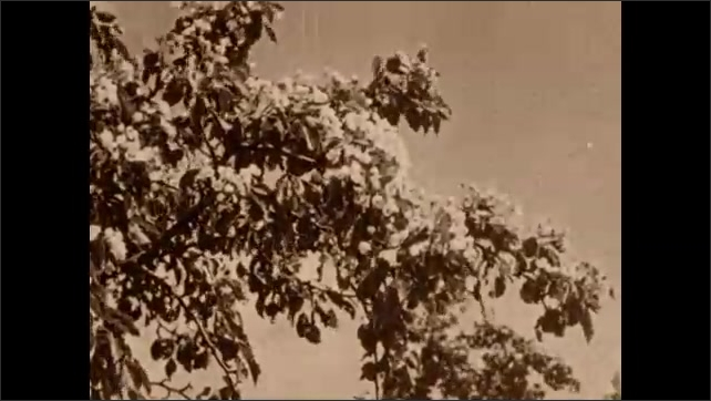 1930s: UNITED STATES: blossom and leaves on tree. Garden and house. Flowers on tree in summer