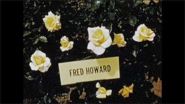 1960s: Flower arrangment on table, woman adds rose. Rose bush by name plaque. Close up of rose.