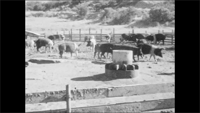 1950s: Pigs rise from dirt and mud. Men empty food waste into feeding bins at pig farm. Pigs run across pen toward feeding alley. Farmers open gates to feeding alley.